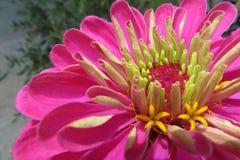 一朵美丽的开花的红色百日菊属花 图库摄影