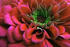 一朵美丽的开花的红色百日菊属花 免版税库存照片
