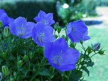一朵美丽的开花的蓝色夏天花 库存图片