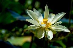 一朵美丽的开花的黄色莲花野花 库存图片