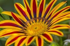 一朵美丽的杂色菊属植物花的接近的射击 库存图片