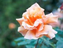 一朵美丽的桃子玫瑰色花的特写镜头视图在反对软被聚焦的背景的庭院里 免版税图库摄影