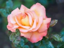 一朵美丽的桃子玫瑰色花的特写镜头视图在反对软被聚焦的背景的庭院里 库存照片