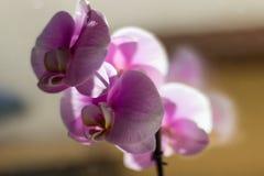 一朵美丽的桃红色兰花的宏指令 库存照片