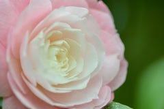 一朵美丽的桃红色山茶花花的特写镜头照片;逐渐迁色从桃红色到白色 免版税库存图片