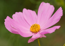 一朵美丽的桃红色波斯菊花的特写镜头 库存照片