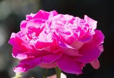一朵美丽的桃红色玫瑰本质上 免版税库存照片
