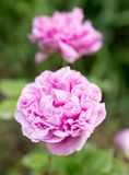 一朵美丽的桃红色玫瑰本质上 库存照片