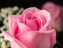 一朵美丽的桃红色玫瑰的特写镜头 免版税库存图片