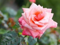 一朵美丽的桃红色玫瑰花的特写镜头视图在反对软被聚焦的背景的庭院里 免版税库存图片