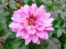 一朵美丽的桃红色花在公园 免版税库存照片