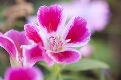 一朵美丽的桃红色花的照片 免版税库存照片