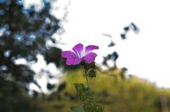 一朵美丽的桃红色花的照片 库存照片