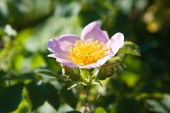 一朵美丽的桃红色花的特写镜头宏观照片上升了,罗莎rubiginosa 库存图片
