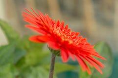 一朵美丽的桔子被隔绝的大丁草花 免版税库存图片