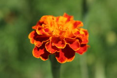 一朵美丽的橙色花在庭院里 库存图片