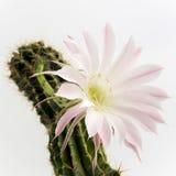 一朵美丽的浅粉红色的开花的仙人掌花的宏观射击在白色的 免版税库存照片