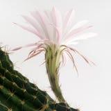 一朵美丽的浅粉红色的开花的仙人掌花的宏观射击在白色的 免版税库存图片