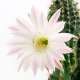 一朵美丽的浅粉红色的开花的仙人掌花的宏观射击在白色的 库存照片