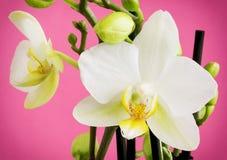 一朵美丽的淡黄色兰花的细节开花与芽 图库摄影