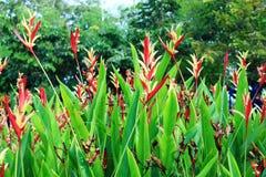 一朵美丽的热带红姜花 免版税图库摄影