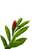 一朵美丽的热带红姜(良姜属Purpurata)花。 图库摄影