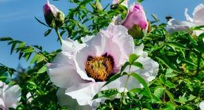 一朵美丽的牡丹花在夏天庭院里 宽照片 免版税库存图片