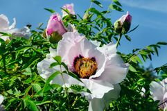 一朵美丽的牡丹花在夏天庭院里 免版税图库摄影