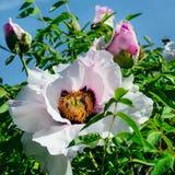 一朵美丽的牡丹花在夏天庭院里 免版税库存图片