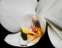一朵美丽的白色兰花的部分的细节 免版税库存图片