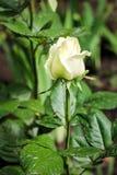 一朵美丽的白色玫瑰的芽 库存图片