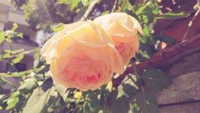 一朵美丽的米黄玫瑰 免版税库存图片