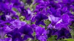 一朵美丽的紫罗兰色喇叭花在绿色土壤背景中 免版税图库摄影