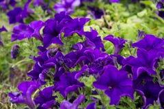 一朵美丽的紫罗兰色喇叭花在绿色土壤背景中 免版税库存照片