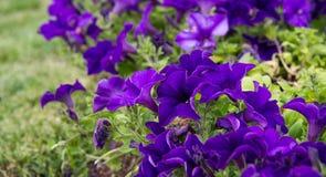 一朵美丽的紫罗兰色喇叭花在绿色土壤背景中 库存照片