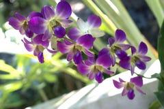 一朵美丽的紫色和桃红色兰花花 免版税库存图片