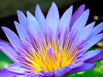 一朵美丽的紫色莲花在湖 免版税图库摄影