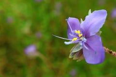 一朵美丽的紫色Murdannia花的特写镜头在绿色领域的 免版税图库摄影