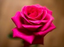 一朵美丽的红色玫瑰在屋子里 免版税库存图片