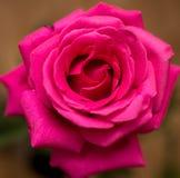 一朵美丽的红色玫瑰在屋子里 免版税库存照片