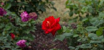 一朵美丽的红色玫瑰在绿色土壤背景中 库存照片