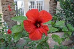 一朵美丽的红色花在村庄庭院里 免版税库存照片