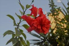 一朵美丽的红色花在村庄庭院里 库存照片