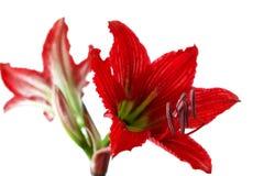 一朵美丽的红色花的特写镜头告诉了婆婆和儿媳1 免版税库存图片
