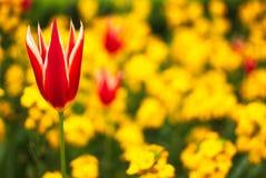 一朵美丽的红色花 免版税库存图片
