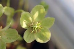一朵美丽的绿色花的特写镜头 库存图片