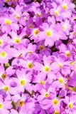 一朵美丽的花有紫色紫罗兰 纹理 库存图片