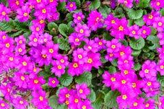 一朵美丽的花有紫色紫罗兰 纹理 库存照片