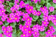 一朵美丽的花有紫色紫罗兰 纹理 免版税图库摄影