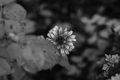 一朵美丽的花的特写镜头在黑白的 免版税库存照片